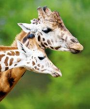 Interieursticker giraffen 106x85 cm