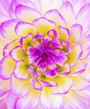 Tegelsticker dahlia roze 15x15cm